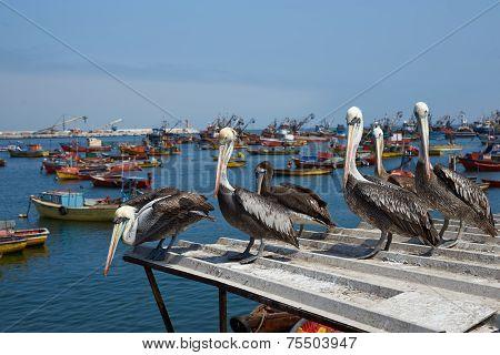 Peruvian Pelicans in Arica