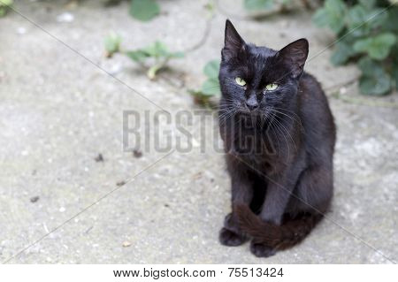 Black Cat Standing On The Way