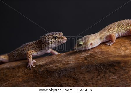 Leopard Geckos in love