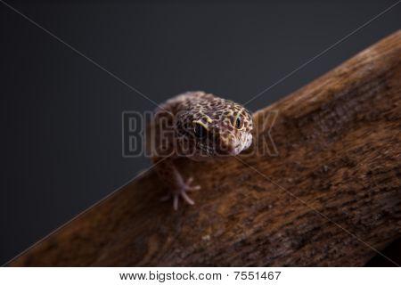 Geco-leopardo