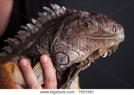 Handheld Iguana