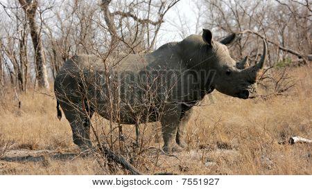 Rhinocerus Bull