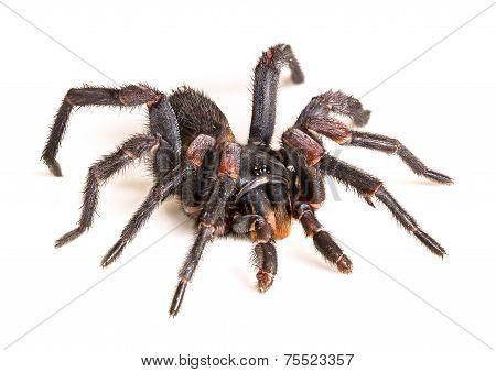 Thai Tarantula (haplopelma Albostriatum)
