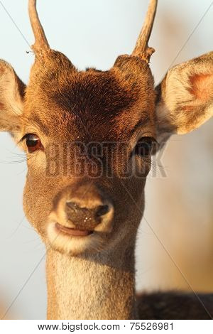 Portrait Of Young Deer Buck