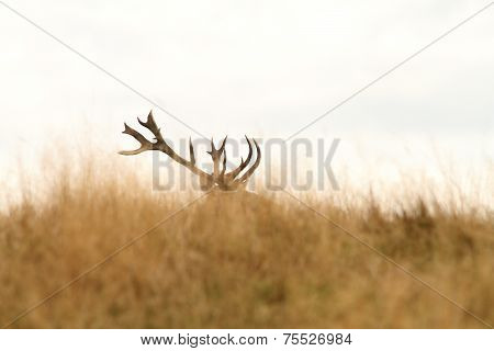Red Deer Big Trophy