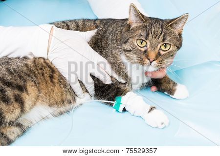 Animal Clinic - Cat Becomes A Infusion