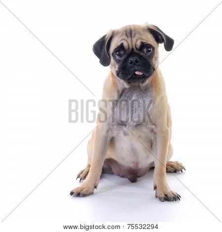 Pug Dog Sitting Over White