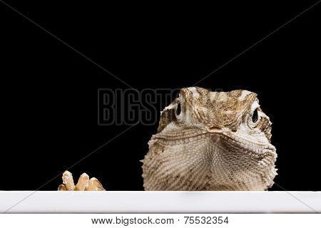 The Look - Bearded Dragon