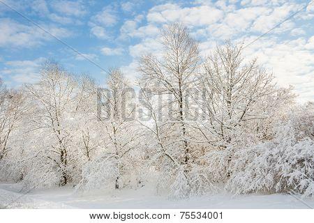 winter wonder land - snow forest