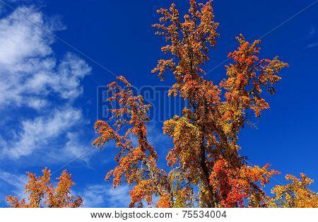 Autumn Tree Against Blue Sky