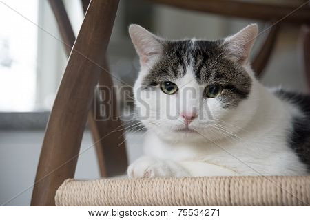 Portrait Of Domestic Shorthair Cat