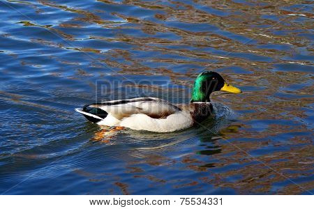 A Mallard drake swims in an Idaho pond in a Boise city park. ** Note: Soft Focus at 100%, best at smaller sizes