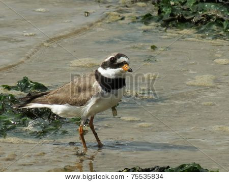 Ringed Plover On A Beach
