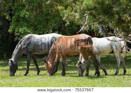 Wild Horses On Cumberland Island