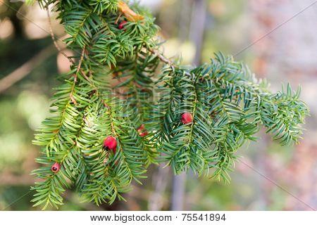 Yew Branch