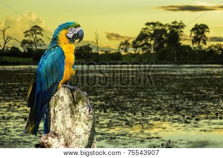 Amazing Blue and Yellow ( Arara ) Macaw in Pantanal, Brazil - Pantanal is one of the world's largest tropical wetland areas located in Brazil , South America