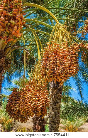 Tunisia, Organic Dates Ripening On The Palm Tree In The Tunisia Sunshine.