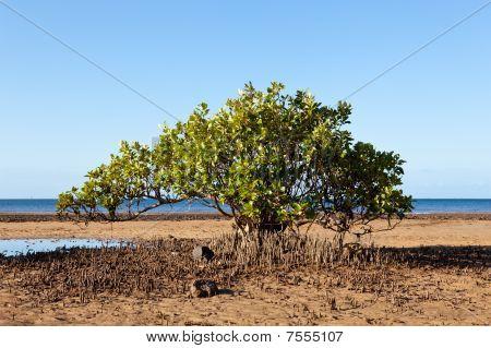 Mangrove Tree on Beach