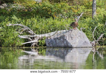 Female Mallard Resting On A Boulder