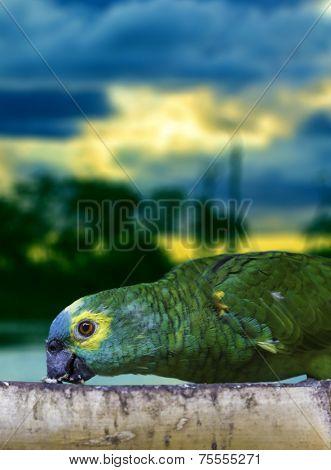 Green parrot eating in Pantanal, Brazil