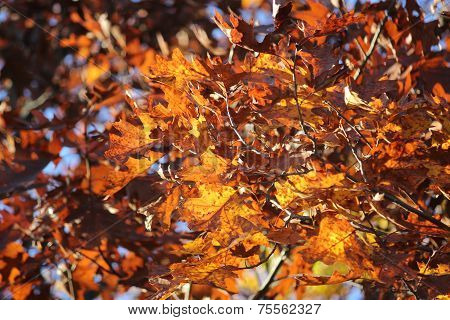 Oak leaves of various shades of brown and red