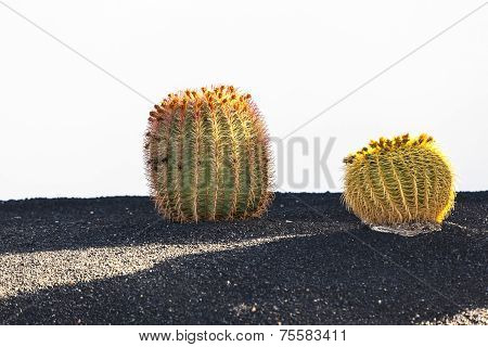 Cactus In Lanzarote Island, Spain Echinocactus Grusonii (golden Barrel Cactus, Mother-in-law's Cushi