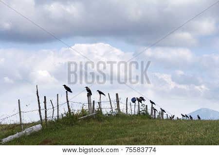 Jackdaws, Crows Standing On A Metal Fence - Durmitor, Montenegro