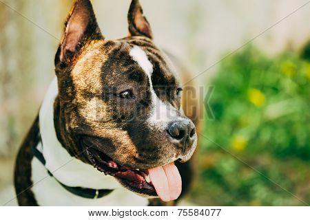 American Staffordshire Terrier Outdoor