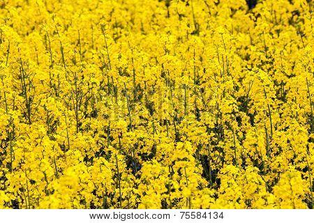 Pattern Of Yellow Rape Field