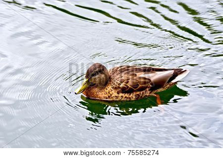 Duck wild on the water