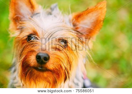 Close Up Yorkshire Terrier On Green Grass