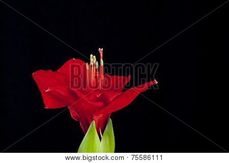 Red amaryllis flower on black background.