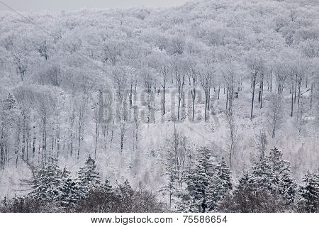 Snowy Winter Forest In The Taunus