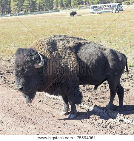 A Bison Bull In A Safari Park