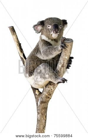 Cute Koala isolated on white background