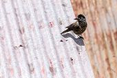 picture of nutcrackers  - Spotted nutcracker  - JPG