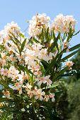pic of oleander  - Beautiful Light orange oleander flower - JPG