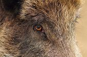 picture of wild hog  - face closeup of a wild boar  - JPG