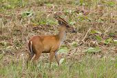 picture of blacktail  - Barking deer also called fea - JPG