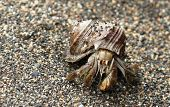 pic of hermit  - A hermit crab in its shell, walking along a beach in Corcovado National Park, Costa Rica.