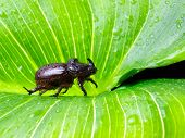 picture of oryctes  - Rhino or scarab male beetle on a large leaf somewhere in the nature - JPG
