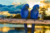 picture of parakeet  - Blue Macaw in Pantanal - JPG