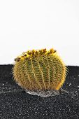 picture of mother law  - Cactuses in Lanzarote island Spain Echinocactus grusonii  - JPG