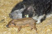 pic of farrow  - Hungarian swallowbellied Mangalitsa pig and piglet in a pen