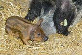 picture of farrow  - Hungarian swallowbellied Mangalitsa pig and piglet in a pen