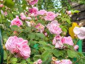 foto of garden eden  - Bright pink roses with fresh green leaves in the garden - JPG