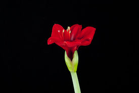picture of belladonna  - Red amaryllis flower on black background - JPG