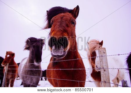 Icelandic horse in snow landscape