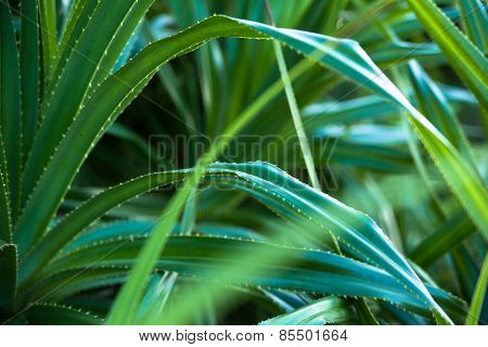 Close up of Adan leaves, Pandanus tectorius