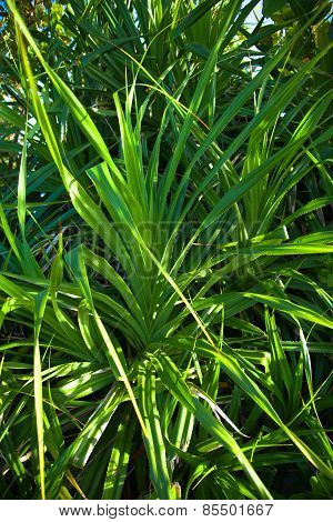 Leaves of Adan, Pandanus tectorius